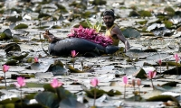 A man collects lotus flowers to sell while floating on a tire tube at a pond in Colombo, Sri Lanka.