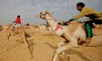 Jockeys, most of whom are children, compete on their mounts during the opening of the International Camel Racing festival at the Sarabium desert in Ismailia, Egypt