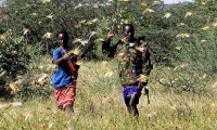 Kenya. Two young people attempt to fend off a swarm of desert locusts in Lemasulani village, Samburu County.
