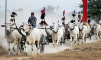 Cambodia. Villagers race their ox-carts ahead of Khmer New Year in Kampong Speu province.