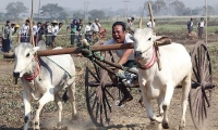 Myanmar. A man rides on an ox cart during a competition at Nay Young Pya Inn Pagoda on the outskirts of Naypytaw.