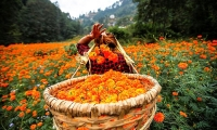 Nepal. A women fills her basket with marigold flowers.