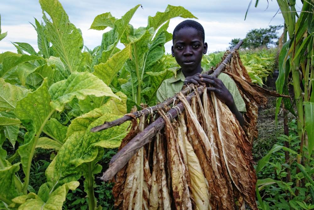 An estimated 80,000 child workers tend to tobacco in Malawi.