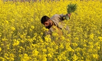 A man collects juvenile plants of rapeseed to eat as a vegetable in Manki outside Islamabad.