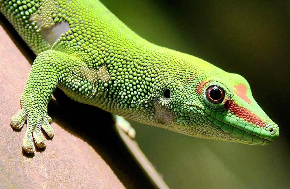 A Madagascar day gecko sits on a perch in the Masoal rainforest.