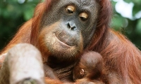 An orangutan baby rests in the arms of its mother.