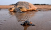 A new-born baby turtle Olive Ridley makes his way to the sea.