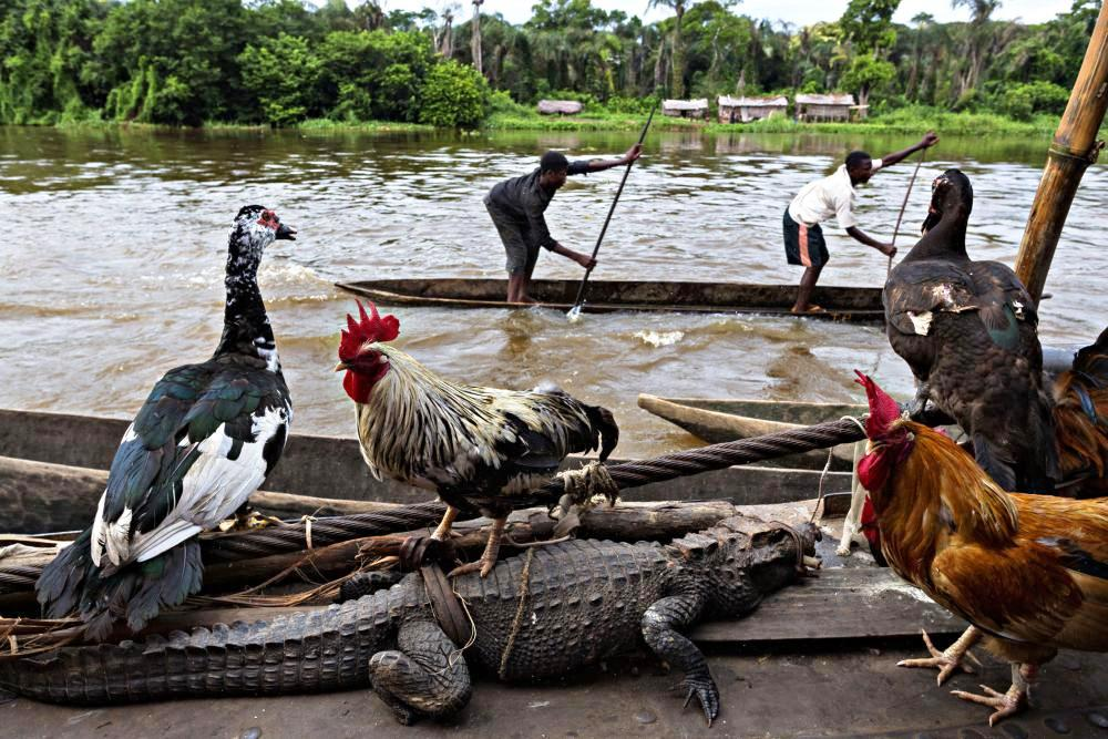 Poultry and a crocodile being sold by people on board a vessel travelling on the Congo River.