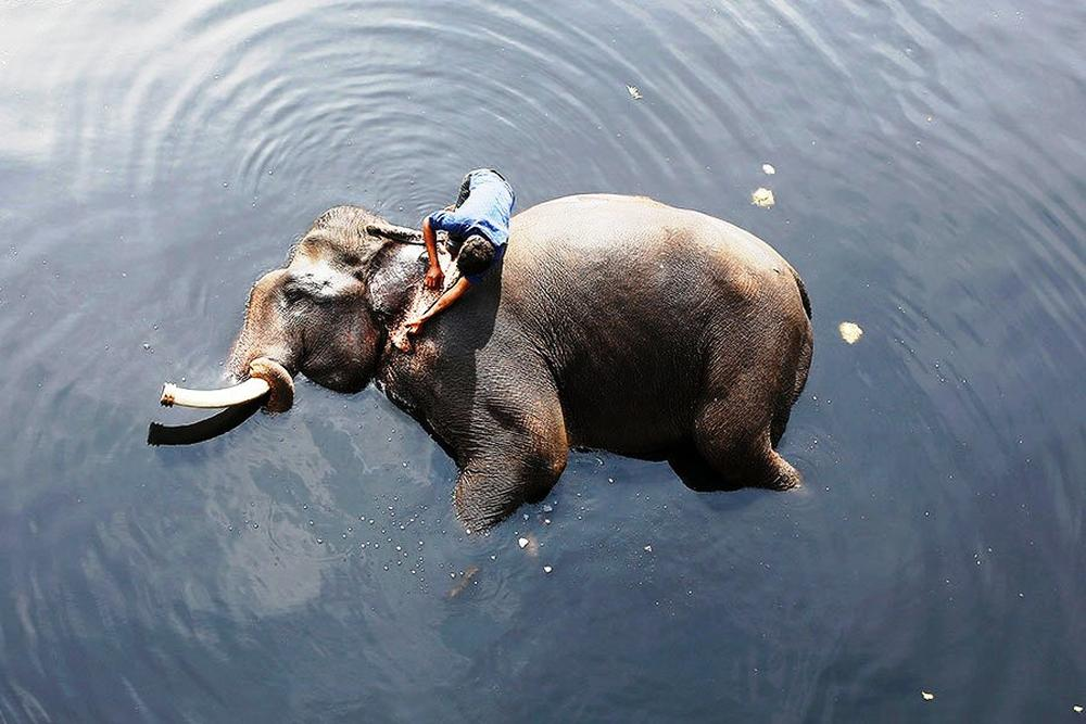 A mahout bathes his elephant in the polluted water of the Yamuna river in New Delhi.