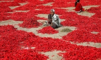 A man removes stalks from red chili peppers at a farm in Shertha village on the outskirts of Ahmedabad.