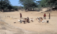 Goats, camels, donkeys and zebu are the primary herd stock utilized by the Turkana people.