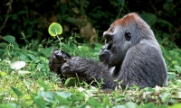 You do not teach the paths of the forest to an old gorilla.(Bushong, DR. Congo)
