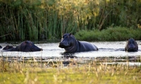 Hippos live in wetlands far from human settlements.